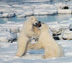683px-polar_bears_play_fight1