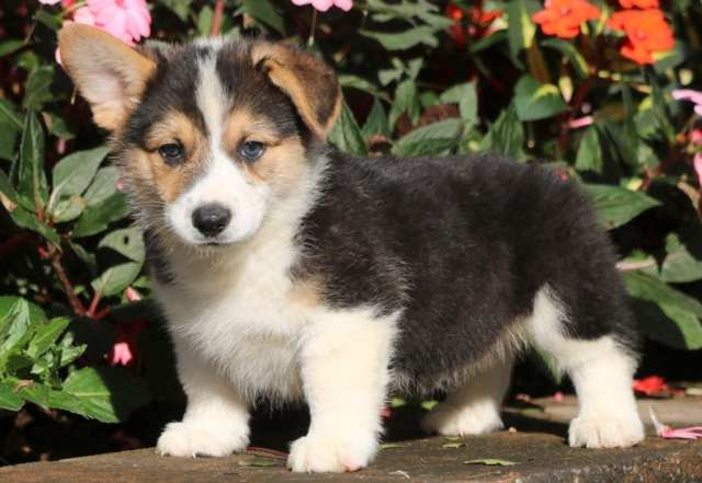 Welsh-Corgi-Category-1024x707